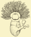 Cephalodiscus dodecalophus McIntosh.png