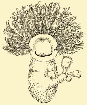 Pterobranchia - Cephalodiscus dodecalophus