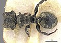 Cephalotes emeryi.jpg