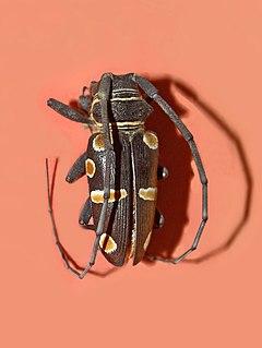<i>Zographus oculator</i> species of beetle