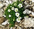 Cerastium latifolium 1 MHNT.jpg