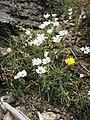 Cerastium soleirolii.jpg