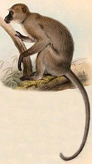 Agile mangabey Species of Old World monkey