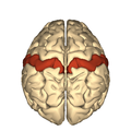 Cerebrum - postcentral gyrus - superior view2.png