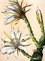 Cereus repandus BlKakteenT84.jpg