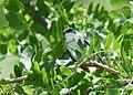 Cerulean Warbler (male) (34226283593).jpg