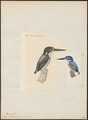 Ceyx solitaria - 1700-1880 - Print - Iconographia Zoologica - Special Collections University of Amsterdam - UBA01 IZ16800091.tif