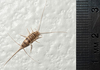 Collections care - Silverfish are a common problem in museum collections. They feed on sugars and starches such as glue, plaster, paper, photos, cotton, linen, and silk.