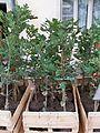 Chênes truffiers - plants chênes blancs.jpg