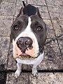 Chacho (American Pitbull Terrier).jpg