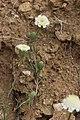 Chaenactis fremontii 7728.JPG