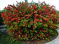 Chaenomeles-japonica-blooming-116.jpg