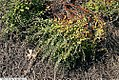 Chamaedaphne calyculata Verdant 1zz.jpg