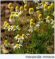 Chamaemelum nobile inflorescence (01).jpg