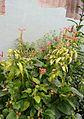 Chameleon in plants.jpg