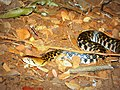 Checkered-keelback in IIT Bombay.JPG