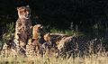 Cheetah, Acinonyx jubatus, at Pilanesberg National Park, Northwest Province, South Africa. (26975977234).jpg
