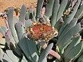 Cheiridopsis denticulata (Aizoaceae) (4087571596).jpg