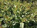 Chenopodium bonus-henricus01.jpg