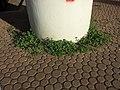 Chenopodium vulvaria sl30.jpg
