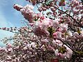 """Cherry-Blossom-Viewing through the """"Tunnel"""" at Japan Mint in 201504 004.JPG"""