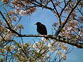 Cherry Blossom DC 2014 (13914260659).jpg