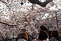 Cherry Blossom in Jinhae-2016-04-02-4.jpg