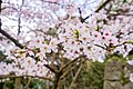Cherry blossoms at Matsuyama Castle, Ehime Prefecture; April 2017 (03).jpg