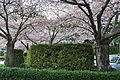 Cherry trees at Horseshoe Bay, West Vancouver, BC 02.jpg