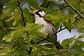 Chestnut-sided Warbler (male) Sabine Woods TX 2018-04-28 07-10-58 (42200320851).jpg