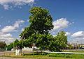 Chestnut tree in Dubiivka 02.JPG