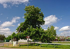 Chestnut tree in Dubiivka 02.JPG