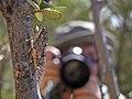 Chicharra común, Tettigades chilensis - panoramio.jpg