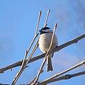 Chickadee (13190875643).jpg