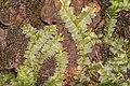 Chiloscyphus profundus (a, 144724-474813) 0559.jpg