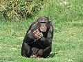 Chimpanzee Attica Zoological Park 2.jpg