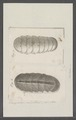 Chiton spec. - - Print - Iconographia Zoologica - Special Collections University of Amsterdam - UBAINV0274 081 06 0029.tif