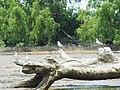 Chlidonias - Dara-laut Rawa.jpg