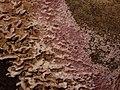 Chondrostereum purpureum 101219280.jpg