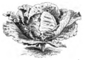 Chou de Dax Vilmorin-Andrieux 1883.png