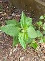 Chromolaena odoratum, Common Floss Flower, കമ്യൂണിസ്റ്റ് പച്ച.jpg
