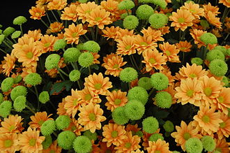 Chrysanthemum - 'Enbee Wedding Golden' and 'Feeling Green'