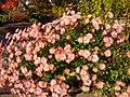 Chrysanthemum at CUH.jpg