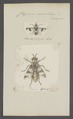 Chrysops - Print - Iconographia Zoologica - Special Collections University of Amsterdam - UBAINV0274 038 06 0007.tif