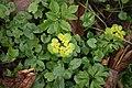 Chrysosplenium-alternifolium-april.jpg