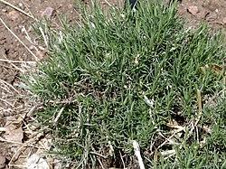 Chrysothamnus greenei 1.jpg