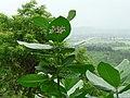 Chuvannaerikk (Malayalam- ചുവന്നഎരിക്ക്) (2642131540).jpg