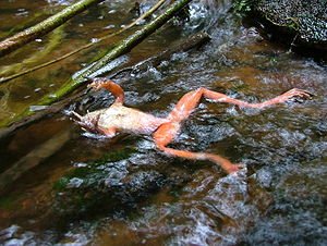 English: A chytrid-infected frog (see Chytridi...