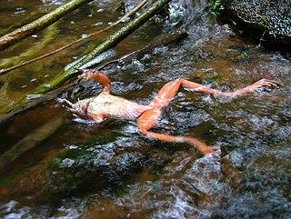Chytridiomycosis disease affecting amphibians