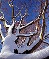 """Cincinnati - Spring Grove Cemetery & Arboretum """"Snow-Capped Branches"""" (5388731801).jpg"""